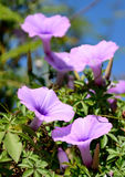 Wild morning glory flowers Stock Photo