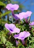 Wild morning glory flowers Stock Photo