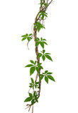 Wild morning glory leaves climbing on twisted jungle liana isola. Ted on white background, clipping path Royalty Free Stock Photos
