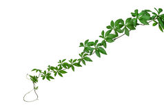 Free Wild Morning Glory Leaves Jungle Vines Isolated On White Background, Path Royalty Free Stock Photo - 95508955