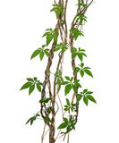 Wild morning gloy leaves climbing on twisted jungle liana isolat. Ed on white background, clipping path Royalty Free Stock Images