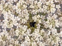 Wild morotblomma med den svarta mitten arkivfoton