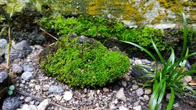 Wild moss royalty free stock photos