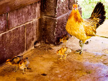 Wild mother chicken and baby chicks in Hawaii. Wild chickens on the roadside in Kauai, Hawaii, USA Royalty Free Stock Photography