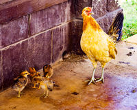 Wild mother chicken and baby chicks in Hawaii. Wild chickens on the roadside in Kauai, Hawaii, USA Stock Image