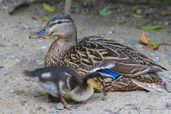 Wild duck family. Wild mother duck with a duckling stock image