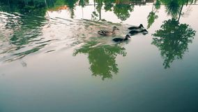 Ducks swimming against�water�flow in the canal. Wild mother duck and three ducklings swimming against water flow in the canal stock footage