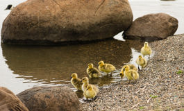 Wild Mother Goose stays close to offspring on Waterfront Royalty Free Stock Photo