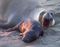 Wild Mother and Kid. Littlle sea lion with his mother Royalty Free Stock Photography