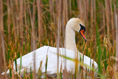 Wild Mother Swan Falls Asleep On Nest Stock Photo