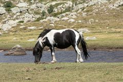 Wild mottled horse on the mountain pasture Royalty Free Stock Photos