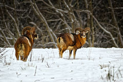 Wild moufflons in winter field Stock Photo