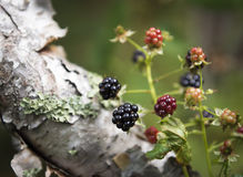 Wild Mountain Blackberries. Wild blackberries in the forest at the summit of Plateau Mountain in the Catskill Forest Preserve Royalty Free Stock Photography