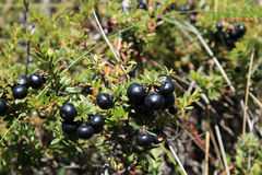 Wild Mountain Blueberries Stock Photo
