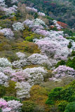 Wild mountain cherry tree blossoms during spring in the Arashiyama area of Kyoto, Japan. Mountainside of Mount Arashi in Arashiyama covered in flowering wild Stock Photo