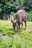 Wild Mountain Deer. Eating in the forest stock photo