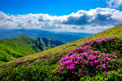 Wild Mountain Flowers Royalty Free Stock Image