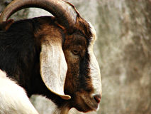 Wild Mountain Goat Royalty Free Stock Photography
