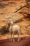 Wild mountain goat Royalty Free Stock Images