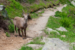Wild mountain goat in Alps. Wild mountain goat Capra Ibex on hiking trail in French Alps Stock Image
