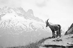 Wild mountain goat - Capra ibex. On a cliff in French Alps. Black and white monochrome image Stock Image