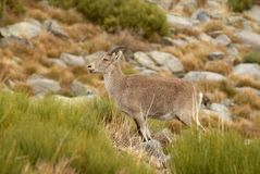 Wild mountain goat in Gredos Royalty Free Stock Image