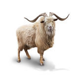 Wild mountain goat Isolated on the white background. With shadow stock image