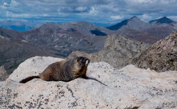 Yellow bellied marmot on rocks of Mt Evans Stock Photos
