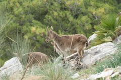 Wild mountain goat in a rocky terrain Stock Images