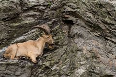 Goat on the cliff stock images
