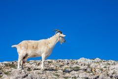 Wild mountain goat on top of a mountain against a blue sky stock image