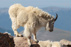 Wild Mountain Goats of the Colorado Rocky Mountains. Wild Mountain Goats on Colorado Mountain Peaks Royalty Free Stock Photography