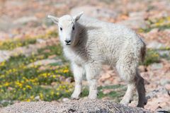 Wild Mountain Goats of the Colorado Rocky Mountains. Wild Mountain Goats on Colorado Mountain Peaks Royalty Free Stock Image