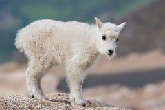 Wild Mountain Goats of the Colorado Rocky Mountains stock photos