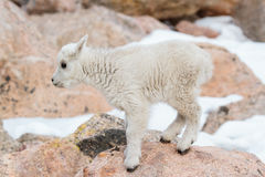 Wild Mountain Goats of the Colorado Rocky Mountains Royalty Free Stock Images