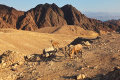 The wild mountain goats in stone desert Stock Photo