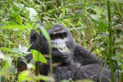 A wild Mountain Gorilla sits in dense foliage in Uganda Stock Photos