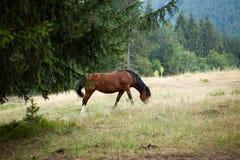 Wild mountain horse graze Royalty Free Stock Photography