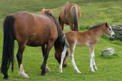 Wild Mountain Ponies. Wild Welsh mountain foal and fully grown ponies standing on rough grassland in spring. The Welsh mountain ponies run free in the Brecon Stock Photos