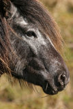 Wild Mountain Pony Stock Photography