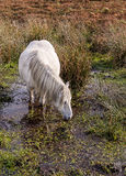 Wild Mountain Pony Drinking Stock Images