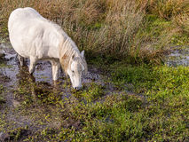 Wild Mountain Pony Drinking Royalty Free Stock Photos