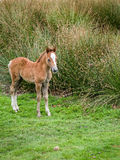 Wild Mountain Pony Foal Royalty Free Stock Images
