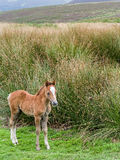 Wild Mountain Pony Foal Royalty Free Stock Photography