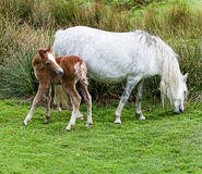 Wild Mountain Pony with Foal Stock Images