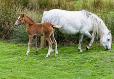Wild Mountain Pony with Foal Stock Photo