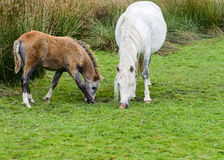 Wild Mountain Pony with Foal Stock Image