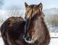 Wild mountain pony in the snow. A young wild mountain pony in the snow stock photo