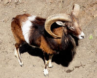 Wild mountain sheep Mouflon - herd animals Stock Photos
