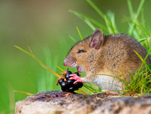 Wild mouse eating raspberry. On log sideview Royalty Free Stock Photos